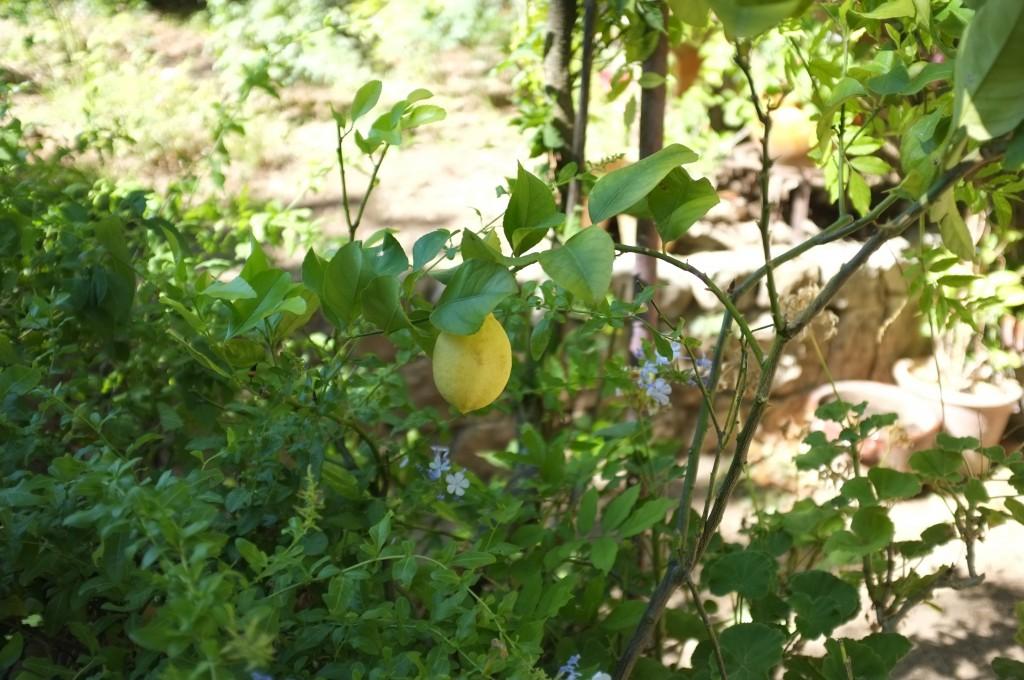 un citron du jardin bien mûr pour ce cake sans gluten ni lactose